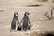 two magellanic penguins standing in front of their nest