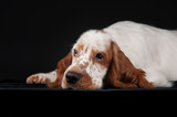 Sad spaniel on a black background