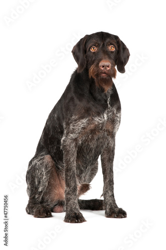 Hunting dog sitting on a white background