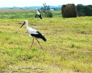 Haymaking and moving stork_PAL
