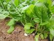acelgas (Beta vulgaris cicla) y riego por goteo