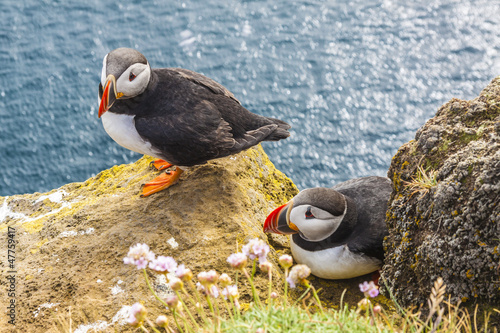 Iceland, Latrabjarg cliffs - wildlife.