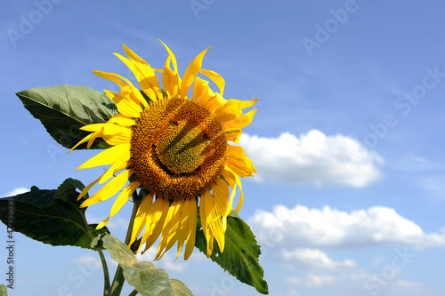 canvas print picture Funny sunflower