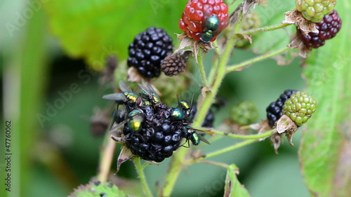 Macro of wild blackberry berries and fly drink eat it juice