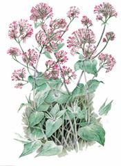 Centranthus ruber - valeriana rossa