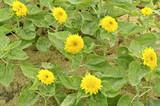 Helianthus annuus - Sungold Teddy Bear sunflower
