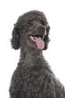 Poodle dog - Großpudel