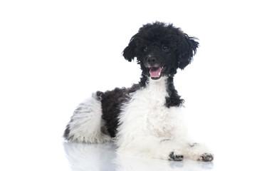Poodle dog - Toypudel