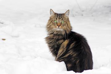 Junge Norweger Katze im Schnee
