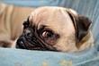 Annoyed Pug Puppy 2