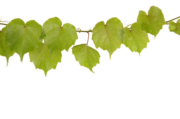 Beautiful ivy