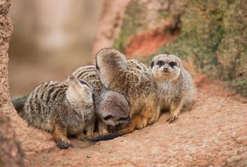 Look out: watchful meerkats
