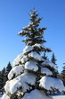 Pine-tree in snow , winter landscape