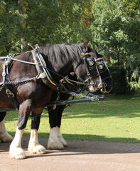 Two Magnificent Shire Horses in a Paired Harness.