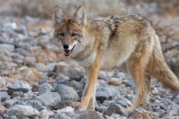 coyote in death valley 5