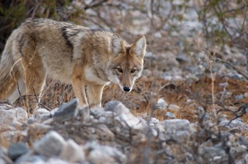 coyote in death valley 3