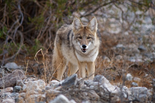 coyote in death valley 4
