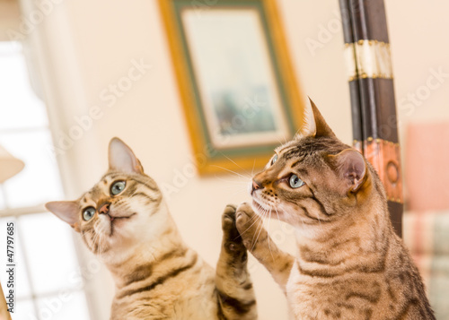 Orange brown bengal cat reflecting in mirror