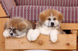 Pets, two Akita Inu puppy dog in drawer of sofa