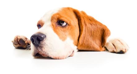 beagle head
