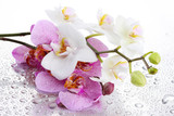 Fototapety pink and white beautiful orchids with drops
