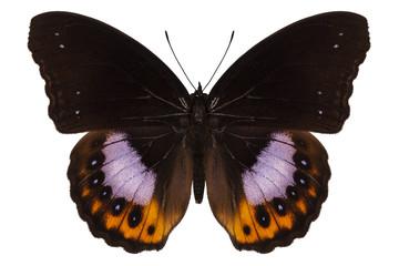 Butterfly species hypolimnas pandarus