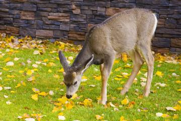 Baby deer enjoying a meal