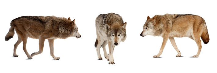 Set of few wolves. Isolated over white