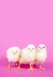 Drei Küken auf rosa Hintergrund