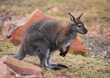Wallaby: wildlife and animals of Australia
