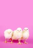 Fototapety Drei Küken auf rosa Hintergrund