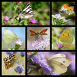 Seven photos mosaic of french butterflies