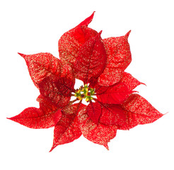 christmas flower with golden decoration isolated on white