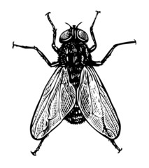 Vector illustration of fly in vintage engraved style