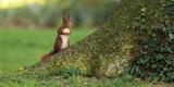 écureuil timide