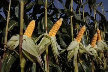 Fresh ripe corn growing in rural field