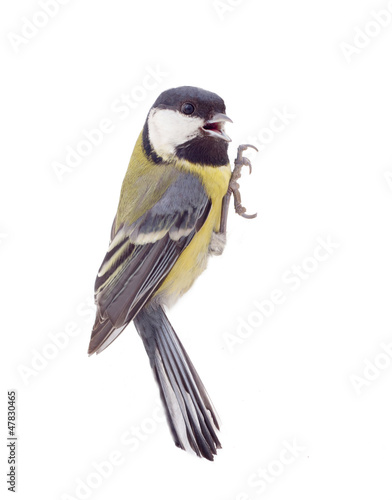 Great tit, isolated