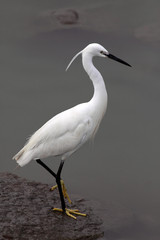 Beautiful white egret