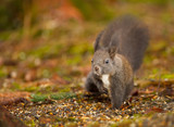 Red squirrel raiding the bird feed poster