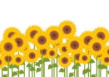 tournesols jaunes