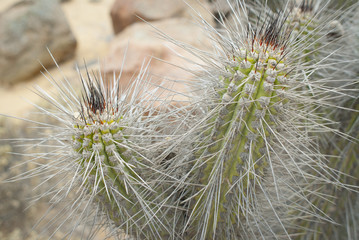 a species of cactus in the Chilean desert