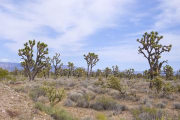 Joshua Tree Forest Panorama