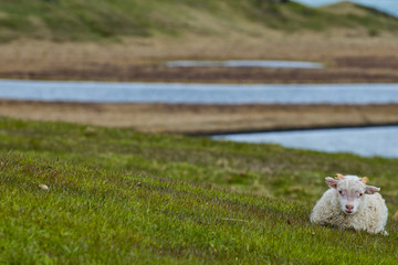 An isolated lamb from iceland relaxing on the green grass