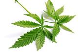 marijuana grass cannabis hemp