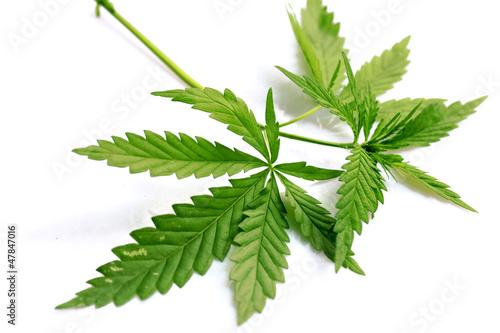 Leinwandbild Motiv marijuana grass cannabis hemp