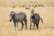 Plains Zebras in Savannah of Masai Mara National Reserve, Kenya