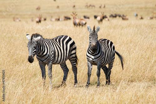 Plains Zebras in Savannah of Masai Mara National Reserve, Kenya