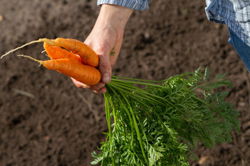 bunch of carrots in woman hand on background of soil