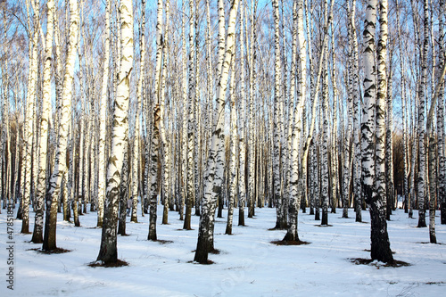 Fotobehang Berkbosje Ray of sunshine in winter birch grove
