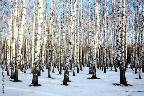 Ray of sunshine in winter birch grove